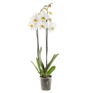 Witte Orchidee (Phalaenopsis) - P 12 cm