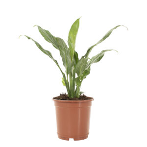 Spathiphyllum Variegata